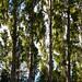 cypress trees