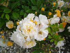 Provins (delphinecingal) Tags: provins roses seineetmarne patrimoine histoire monument visite history