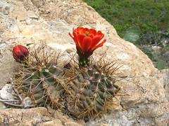 Echinocereus triglochidiatus, White Mule Canyon, Guadalupe Mountains, Lincoln National Forest, Eddy County, New Mexico 1