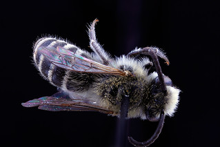 Colletes_speculiferus,_male,_back_(2)_clean