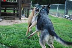 DSC_6337 (aerofan245) Tags: birthday dog 3 dark shepherd sage german batman knight batdog gsd