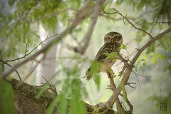 Spotted Owlet...habitat (itsrbtime) Tags: india nature birds nikon wildlife sigma karnataka mysore owlet d90 greatnature spottedowlet nikond90 sigma120400 sigma120400oshsm rijubhattacharya itsrbtime