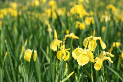 gregarious-yellow irides