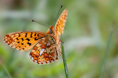 PEARL BORDERED FRIT 2012 #2 (GOLDENORFE) Tags: macro butterfly insect butterflies pearlborderedfritillary
