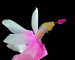 Flor de maio (Hlumbergera truncata) - detalhe /Flower of May (Hlumbergera truncata) - detail (Valcir Siqueira) Tags: flowers macro nature flordemaio
