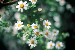 Margaritas (María Granados) Tags: flowers flores daisies canon vintage 50mm flor daisy f18 daisyflower