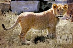 Lion Cub (Michael Muntz Photography) Tags: cute outdoors cub dangerous lion safari wildanimal carnivore flickrbigcats