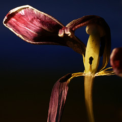 faded tulip (JMVerco) Tags: flower fleur square tulip fiore tulipe tulipano dragondaggerphoto redmatrix exoticimage
