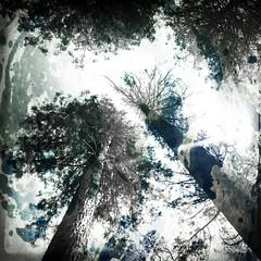 Seeking the Light (jeffmessage) Tags: trees light pines upshot