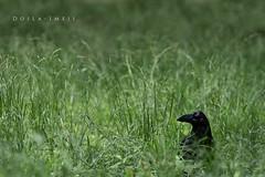 Crow in the Grass (doyleshafer) Tags: japan tokyo iii yoyogi crow vr d4 200mm tc20e f2g