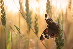 wheatfield buckeye (jennifernish) Tags: light sun field butterfly lawrence wheat kansas common buckeye jennifernish