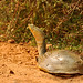 Indian Flapshell Turtle (Anne-Marie Kalus)
