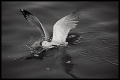 Taking A Dip (Christian Stepien.com) Tags: seagulls white lake ontario canada black bird nature birds animal spring nikon christian mississauga 2012 portcredit stepien d5100