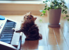 Play It Again, Daisy (torode) Tags: music cute japan cat tokyo kitten keyboard piano places daisy flooring potplant
