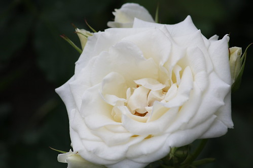 Rose-Bridal White