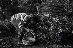 baccelli (Stefano Del Pianta) Tags: family white black del beans dad basket famiglia grow vegetable land take terra bianco nero babbo stefano pianta orto cesto delpianta baccelli cogliere coltivare