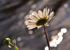 DSC_0020 - Daisy bokeh (SWJuk) Tags: uk wild england flower home water canal nikon bokeh lancashire daisy sparkling 2012 burnley leedsliverpoolcanal d90 nikond90 myfreecopyright swjuk mygearandme may2012 mygearandmepremium