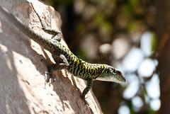 Lucertola su giara (Andrea Cimino Photography) Tags: green nature animal action lizard 300mm lucertola azione rettile