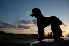 IMG_9454 (SmartPoodle) Tags: sunset summer dog black silhouette poodle standardpoodle 1855mmf3556