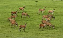 Baviera 012 Bayerischer Wald (franco borgis) Tags: parco deer wald germania foresta cerf baviera nazionale cervi venado bayerischer bavarese