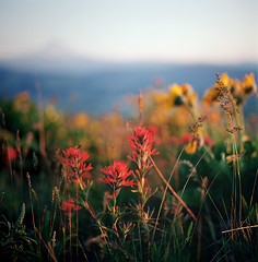 brushstrokes. (manyfires) Tags: flowers sunset film oregon analog mediumformat painting square landscape golden spring bokeh hasselblad mthood pacificnorthwest wildflowers wildflower paintbrush magichour hoodriver balsamroot ektar hasselblad500cm