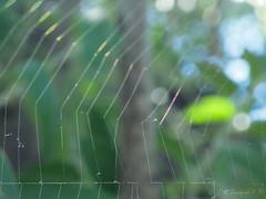 La tela de la araña un poco deshilachada al contraluz (Joaquim F. P.) Tags: adaptador adapter arachnida araneido araneusangulatus arthropoda artrópodo arácnido cataluña dcr250125mm8d2g3e fauna junio naturaleza p300 primavera spider vilaseca raynox spidersilk spiderweb telaraña parque nikon araña arachnid animal jfp catalunya tarragona macro fotografia compact creativecommons camera fotomacrografía macroextremo macrophotography joaquimfp aracnido lapineda costadorada salou costadaurada naturalista fotografianaturalista mediterranean goldencoast extreme closeup