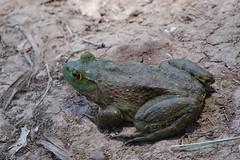 Chiricahua Leopard Frog (Rana chiricahuensis) (gatespassbear) Tags: arizona nature animal desert wildlife amphibian frog sonoran huachucamountains cochisecounty