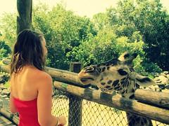 Meeting JJ. (lvoely kate) Tags: africa pink trees brown green love girl smile fence happy zoo dress florida kate african katie tan best spots giraffes fl giraffe favoriteanimal katiebowers fadedkate