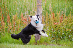 Bouncer (Anda74) Tags: action bordercollie ouzo bouncing canonef70200mmf4lusm offatree oneofhisfavoritetricks itdoesgetoldbuticantfindthehearttotellhim
