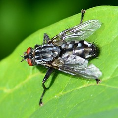 Fleischfliege (Sarcophaga Carnaria) 5000 (fotoflick65) Tags: macro up bug garden linz insect square fly close 11 squareformat botanic f56 makro insekt garten nahaufnahme fliege botanischer sarcophaga carnaria fl200 fleischfliege iso200400 iso280 tamronspaf70200mmf28dildifmacro d7000 st640 y2012 fl150200 st400800 fotoflick65 ta70200 ym05