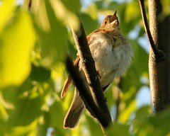 Veery 2 (mbmcclintock) Tags: aroundhome