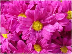 Pink and Yellow .. (** Janets Photos **) Tags: uk pink flowers macro floral yellow colours myfavorite closeups chrysanthemums peacetoall masterphotos flickrisslow imperialphotography