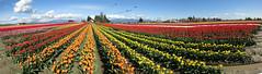 Tulips panorama - Tulip Town (D70) Tags: skagit valley washington usa tulips panorama flowers rows spring clouds blue skies tuliptown red yellow orange white purple barn mud water tulip inexplore