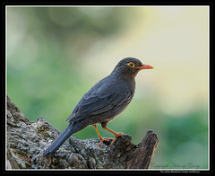 The Indian Blackbird (AntoGros) Tags: india bird nature birds indian birding blackbird turdus nilgiris indianbirds indianblackbird simillimus birdsofnilgiris nilgirisbirds turdussimillimusnigropileus birdingnilgiris nigropileus