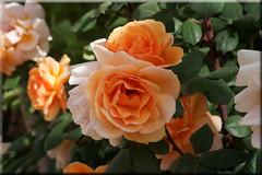 roses of Tinghir (mhobl) Tags: flowers roses morocco maroc campground marokko tinerhir