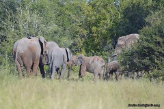 DSC_8765 (Arno Meintjes Wildlife) Tags: africa elephant nature southafrica wildlife safari krugerpark africanelephant loxodontaafricana africanbushelephant arnomeintjes
