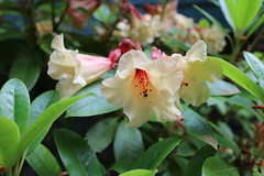 IMG_3058.JPG (robert.messinger) Tags: flowers rhodies