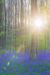 2016春紫色森林日出-1 (fengchi860602) Tags: 欧洲 春 风信子 比利时 布鲁塞尔