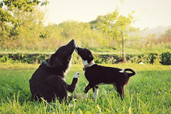 Love is all you need.  (Spahi Anesa) Tags: sunset summer dog cute love nature animal puppy kiss kissing colorful warm afternoon outdoor adorable heartwarming moment lovely