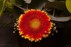 gewoon een mooi bloemetje (w.vandervet) Tags: orange dutch yellow minolta sony gerbera a330 bloem 2880