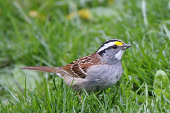 """If I had to choose, I would rather have birds than airplanes.""  Charles Lindbergh (Laura Rowan) Tags: bird home spring birding sparrow migration ourgarden whitethroatedsparrow"