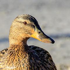 (Svein G.) Tags: oslo norway no natur and fugler dyr vr stokkand steder stensjvannet rstid