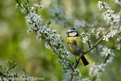 Blue Tit (Wild About.......) Tags: uk nature birds fauna blossom unitedkingdom wildlife british bluetit naturephotography cyanistescaeruleus 1d4 putnoewood