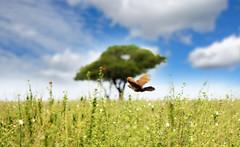 (Vincent Swanepoel) Tags: sky bird field flight falcon serengeti kestrel