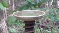 tufted titmouse (chezjimbo) Tags: birdbath tuftedtitmouse