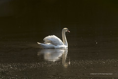 Swan (The Original Happy Snapper) Tags: light summer sun bird nature water animal landscape swan outdoor refelection