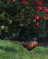 DSC_6346.jpg (littlestschnauzer) Tags: uk morning game west male bird home nature sunshine birds animals proud rural garden countryside spring nikon pheasant wildlife yorkshire feathers fez rhododendron local colourful springtime strutting dominant emley d7200