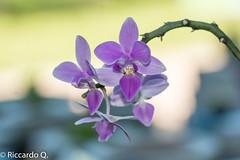 _DSC9197.jpg (Riccardo Q.) Tags: macro fiori fiore altreparolechiave floreka