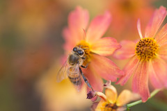 As Tears Go By (Thomas Hawk) Tags: flower colorado fav50 denver botanicalgarden cheesmanpark denverbotanicgardens fav10 fav25 denverbotanicalgarden