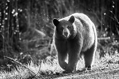 Roadside Bear (lkaldeway) Tags: road bear morning blackandwhite monochrome animal fauna fur outdoors photography one outdoor wildlife flies snout
